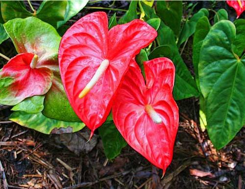 Anthurium - flower of love