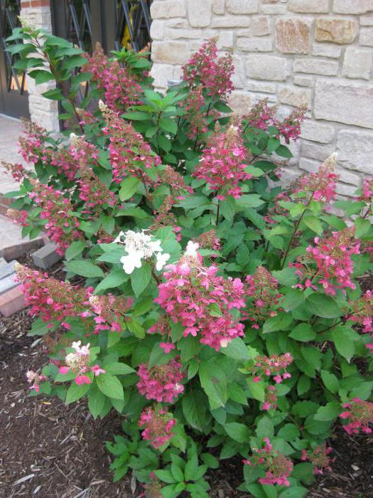 Hydrangea Pink Diamond - decorative garden ornament
